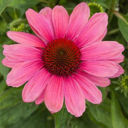 Echinacea 'Pink Pearl'