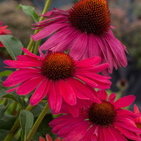 Echinacea 'Sweet Meadow Mama'