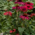 Echinacea 'Sweet Meadow Mama'