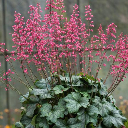 Heuchera 'Rex Peppermint'
