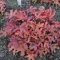 Heucherella 'Red Rover'