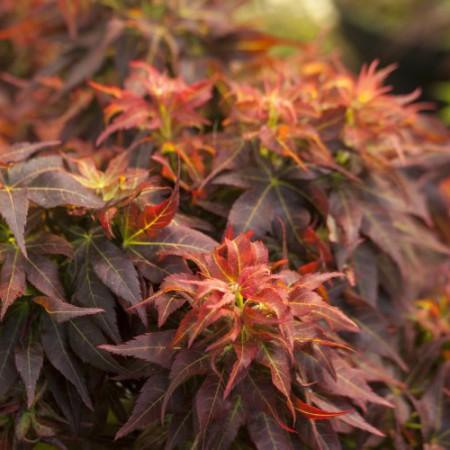 Acer palmatum 'Kurenai jishi'