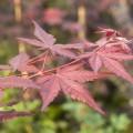 Acer palmatum 'Matsu kubo'