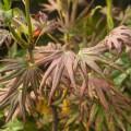 Acer shirasawanum 'Mr. Sun'