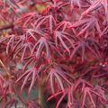 Acer palmatum 'Starfish' ®
