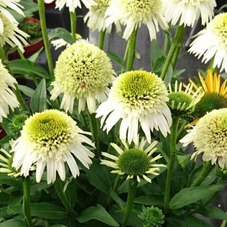 Echinacea 'Delicious Nougat' ®