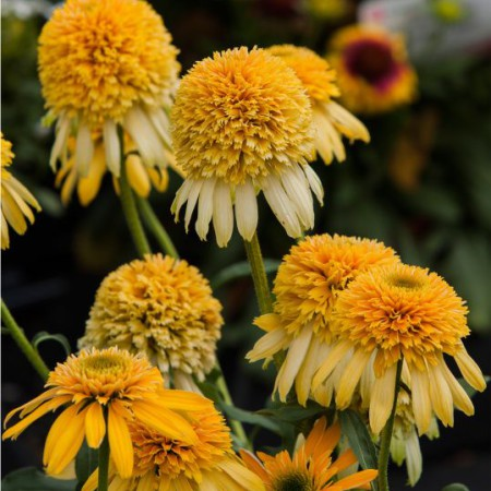 Echinacea 'Lemon Drop'