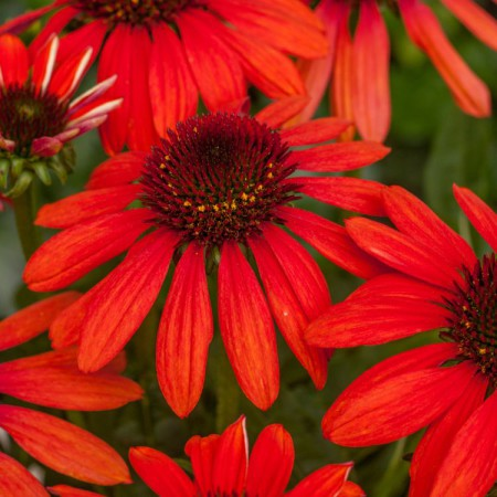 Echinacea 'Red Pearl'