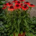Echinacea 'Red Pearl'