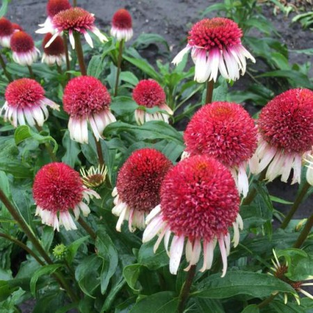 Echinacea 'Strawberry & Cream'