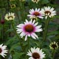 Echinacea 'Funky White' ®
