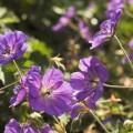 Geranium wallichianum 'Rozanne' ®