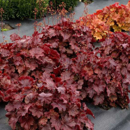 Heuchera Northern Exposure Red'