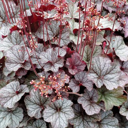 Heuchera Northern Exposure Silver'