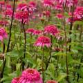 Echinacea 'Razzmatazz' ®