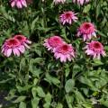 Echinacea 'Summer Candy' ®