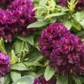 Rhododendron Hybride 'Dramatic Dark' ®