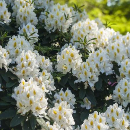 Rhododendron Hybride 'Madame Masson'