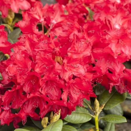 Rhododendron yakushimanum 'September Red'