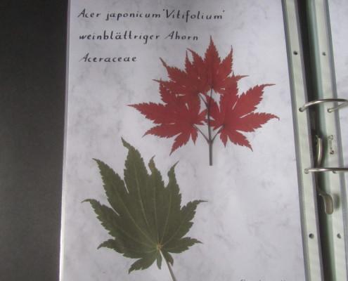 Herbarium Acer japonicum 'Vitifolium'