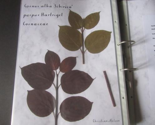 Herbarium Cornus alba 'Sibirica'