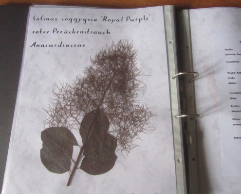 Herbarium Cotinus coggygria 'Royal Purple'