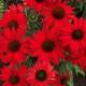Echinacea 'Kismet ®Red'