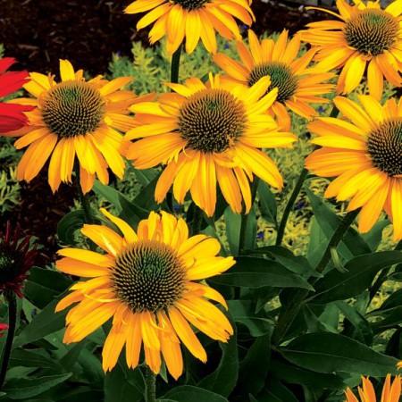 Echinacea 'Kismet ® Yellow'