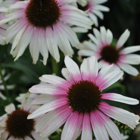 Echinacea 'Fountain™ Pink Eye'