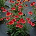 Echinacea 'Prima™ Cinnamon'