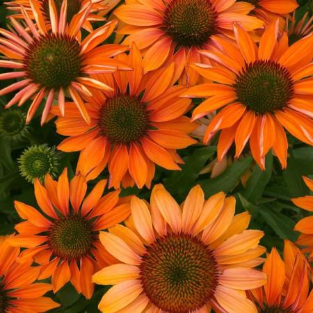Echinacea 'Prima™ Ginger'