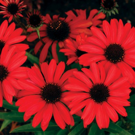 Echinacea 'Prima™ Ruby'