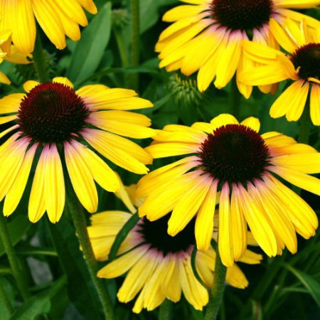 Echinacea 'Yellow Rainbow Marcella'