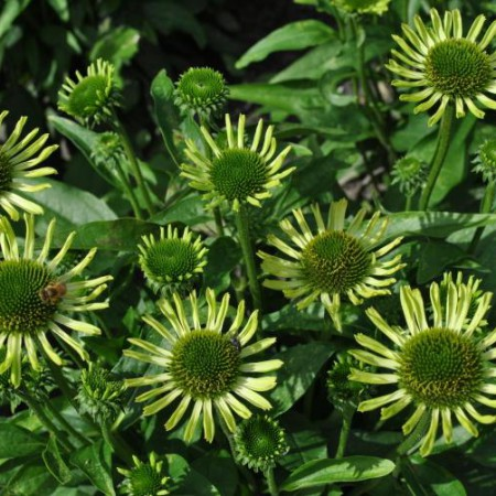 Echinacea 'Green Woodpecker'