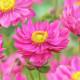 Anemone japonica 'Margarete'
