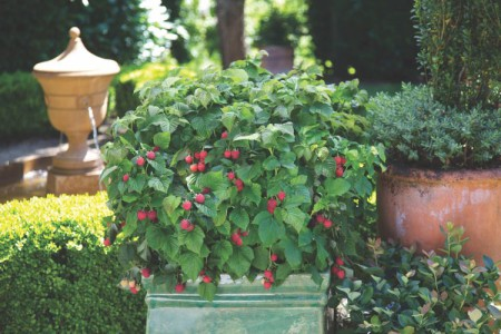 Rubus idaeus 'Raspberry Shortcake' ® BrazelBerries ®