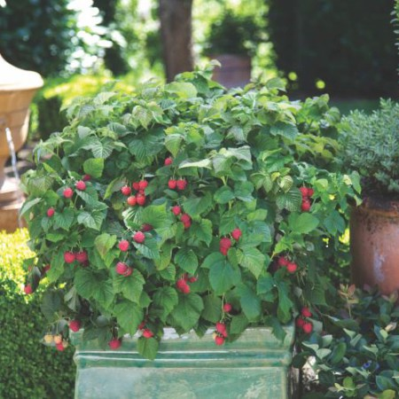 Rubus idaeus 'Raspberry Shortcake' ® BrazelBerries ®