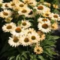Echinacea 'Sensation Mango' ®