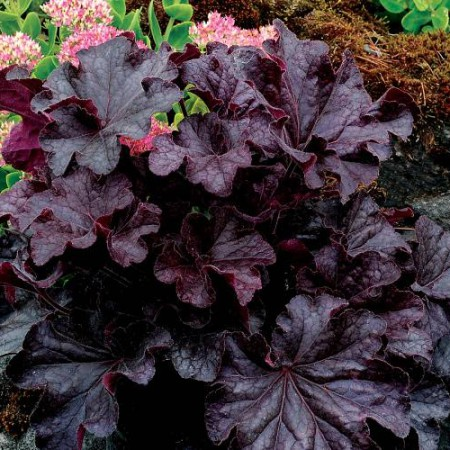 Heuchera 'Grande™ Black'