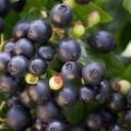 Vaccinium angustifolium 'Berry Bux' ® BrazelBerries ®