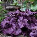 Heuchera 'Wildberry'