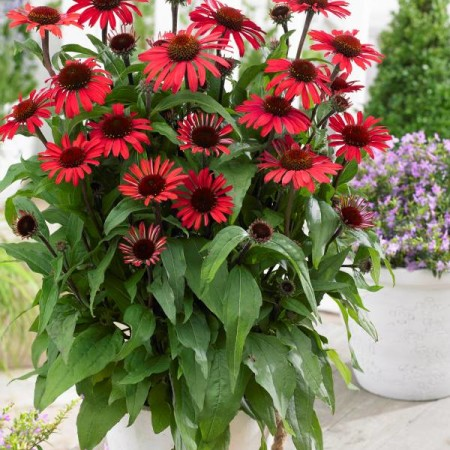 Echinacea 'SunSeekers Red' ®