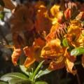 Rhododendron luteum 'Goldköpfchen'