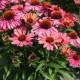 Echinacea 'Meditation Cherry' ®