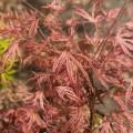 Acer palmatum 'Mikazuki'