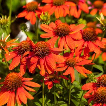 Echinacea 'Sombrero® Adobe Orange'