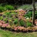 Rhododendron micranthum 'Bloombux ® Magenta'