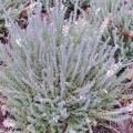 Calluna vulgaris 'Beoley Silver'