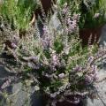 Calluna vulgaris 'Forest Fire'