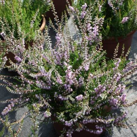 Calluna vulgaris 'Forest Fire'